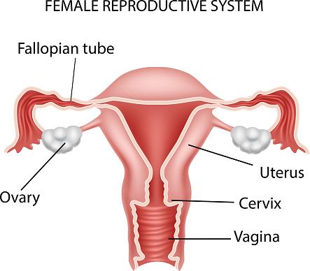 Cartoon illustration of Female reproductive system