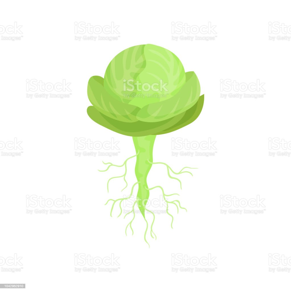 Cartoon illustration of green cabbage with roots. Natural and healthy plant. Cultivated vegetable. Flat vector icon vector art illustration