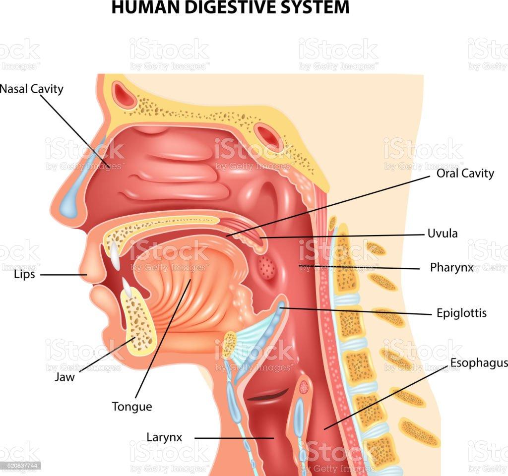 Cartoon illustration of Human Digestive System vector art illustration