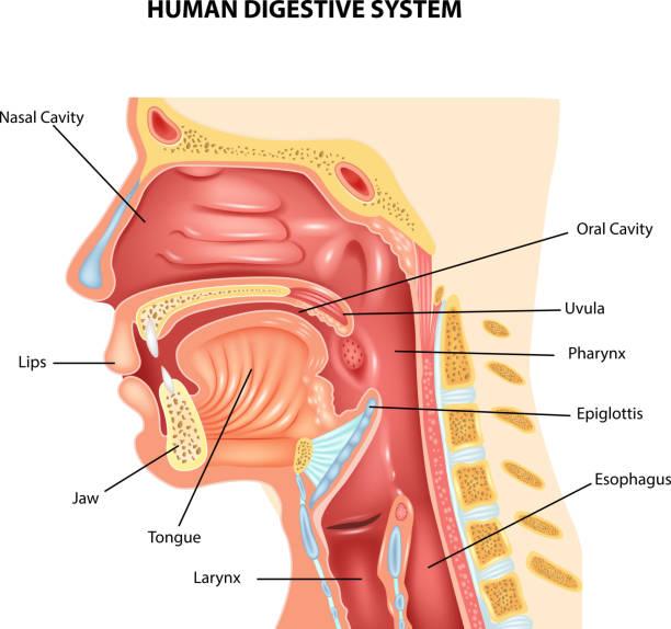 Royalty Free Epiglottis Clip Art Vector Images Illustrations Istock