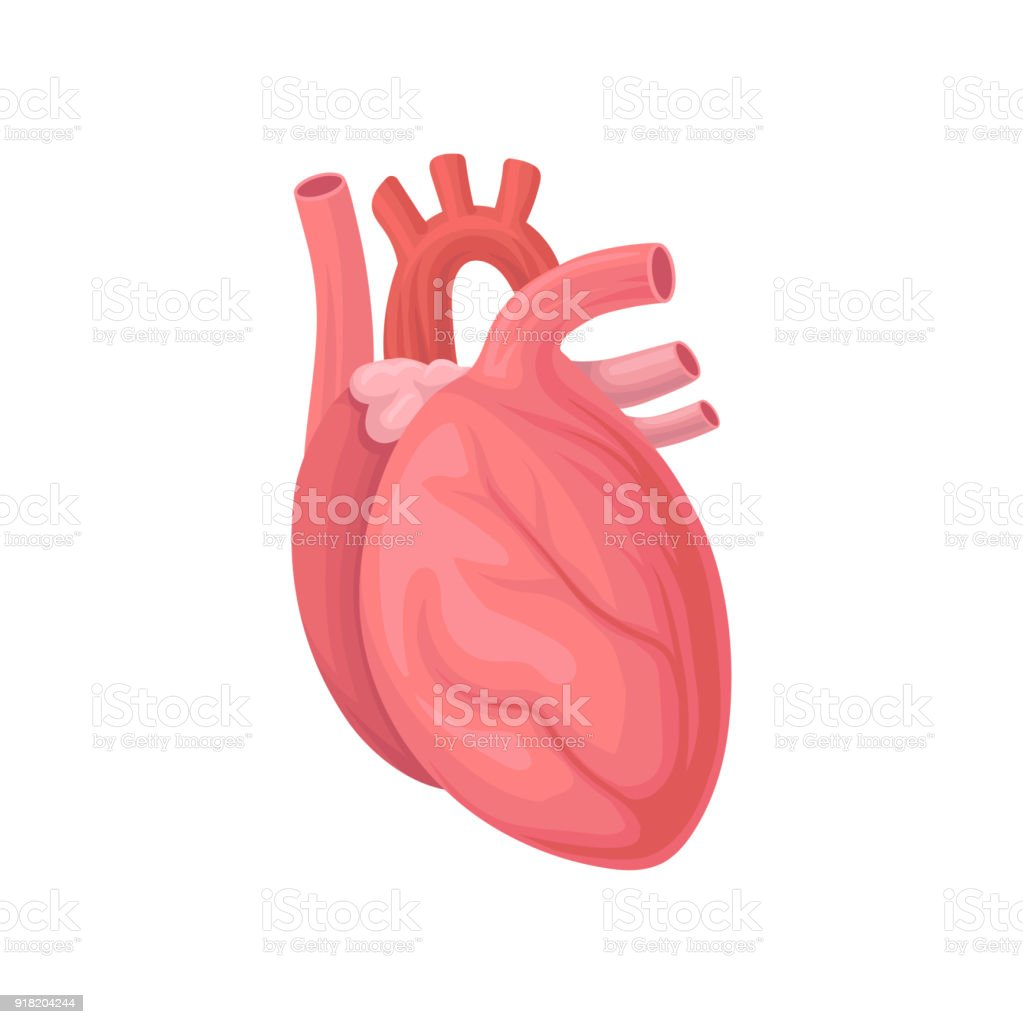Cartoon Illustration Of Human Heart Central Organ Of The Circulatory
