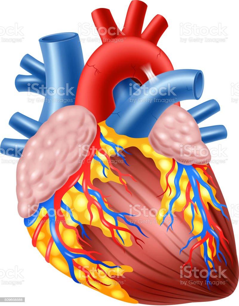 Cartoon illustration of Human Hearth Anatomy vector art illustration