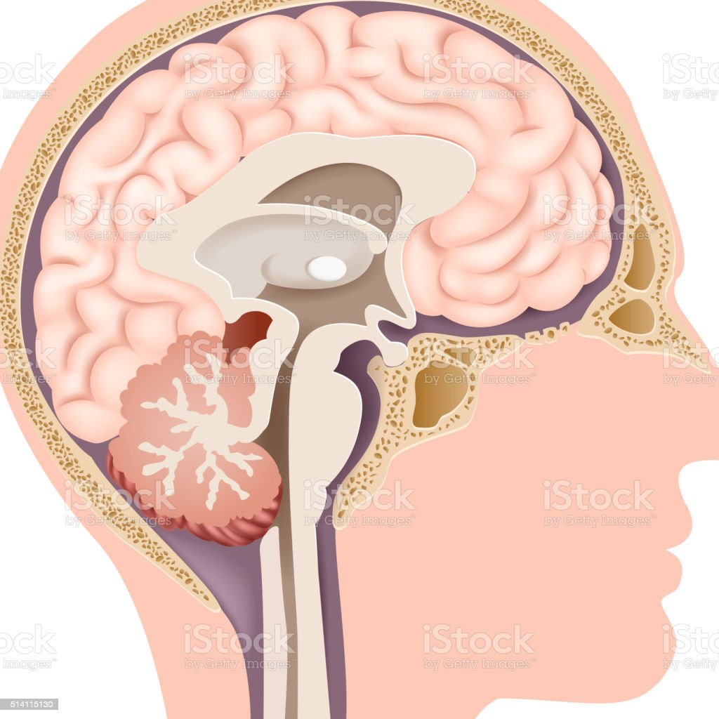 Cartoon Illustration Of Human Internal Brain Anatomy Stock Vector ...