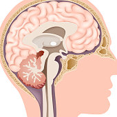 Cartoon illustration of Human Internal Brain Anatomy
