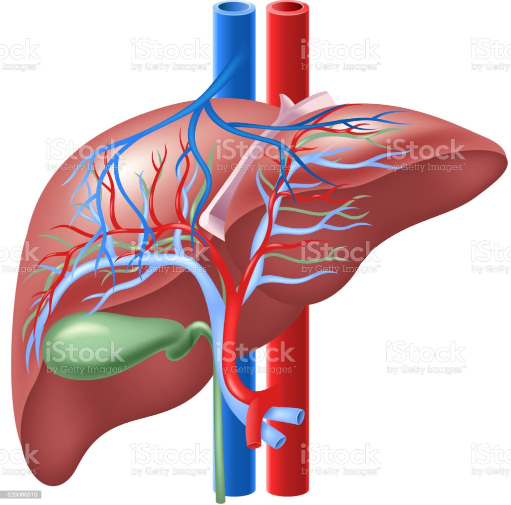Cartoon Illustration Of Human Internal Liver And Gallbladder Stock