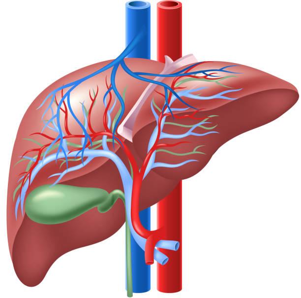 Cartoon illustration of Human Internal Liver and Gallbladder Illustration of Human Internal Liver and Gallbladder glycoprotein stock illustrations