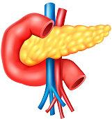 Cartoon illustration of Human Internal Pancreas Anatomy
