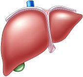 Cartoon illustration of Human Liver Anatomy