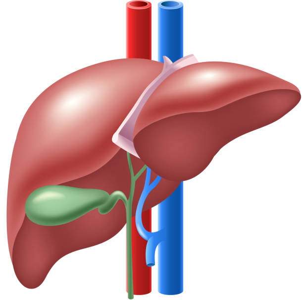 Top Liver Cartoon Stock Photos, Pictures and Images - iStock