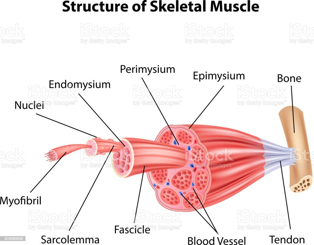 Cartoon Illustration Of Structure Skeletal Muscle Anatomy Stock
