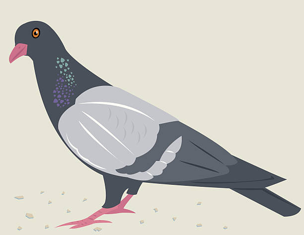 Royalty free pigeon clip art vector images illustrations istock - Dessin pigeon ...