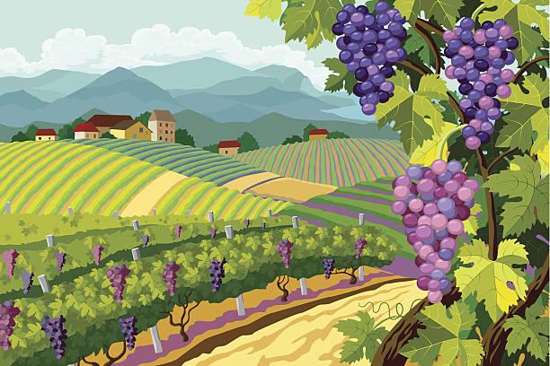 vineyard und trauben bunches - herbstgemüseanbau stock-grafiken, -clipart, -cartoons und -symbole