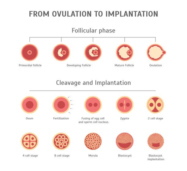 cartoon in-vitro-befruchtung karte poster. vektor - eizelle stock-grafiken, -clipart, -cartoons und -symbole
