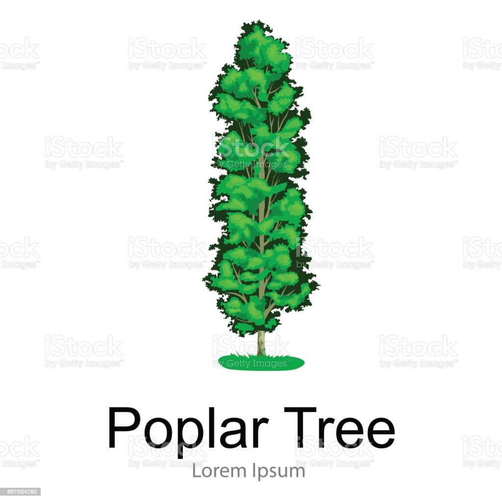 cartoon isolated poplar summer tree on a white background icon