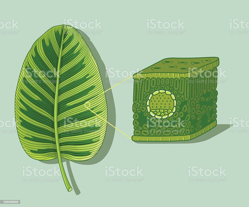 Cartoon Leaf Anatomy Structure Under Microscopy Stock Vector Art ...