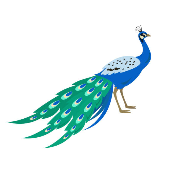 cartoon peacock icon on white background. - peacock stock illustrations