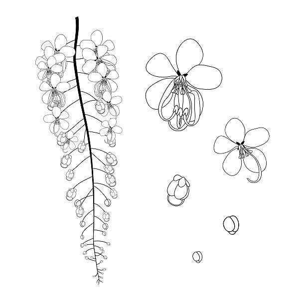 Cassia Fistula-Gloden Dusche Blume schwarz und weiß – Vektorgrafik
