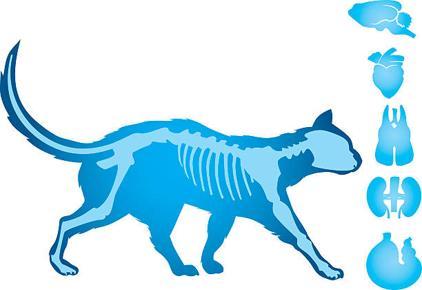 cat body vector - animal skeleton stock illustrations