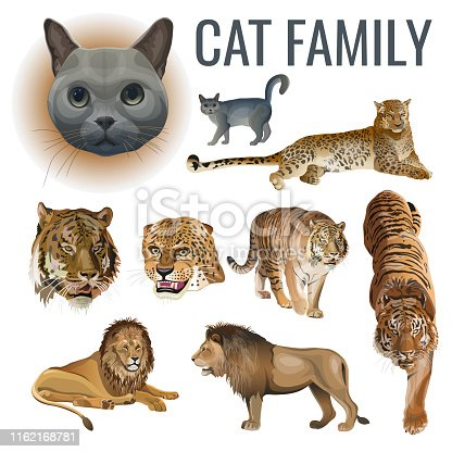 Cat family. Set of predatory animals - lions, tigers, leopards and domestic cat. Vector illustration isolated on white background