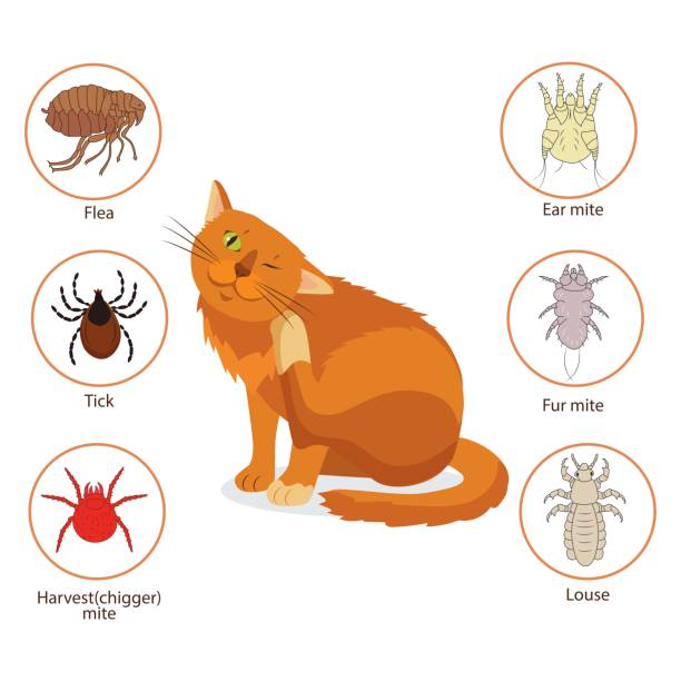 Cat Parasites. What To Know About Feline Parasites. Pet Skin And Fur Parasites Vector. Cat Parasites. What To Know About Feline Parasites. Pet Skin And Fur Parasites Vector. Flea, Tick, Ear Mite, Fur Mite, Harvest Mite, Louse. Veterinary Medicine Vector. parasitic stock illustrations