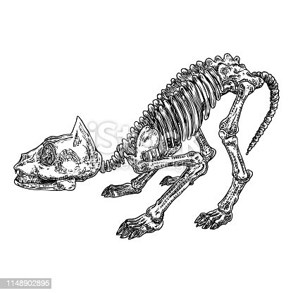 Cat predator skull. Dead animal engraving hand drawing head skull skeleton. Sketch Boho style tattoo. Vector.