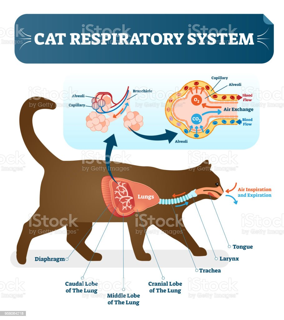 Vet Cat Anatomy Diagrams Application Wiring Diagram