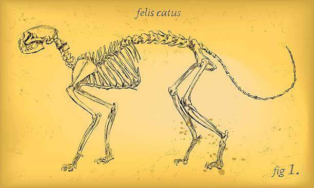Cat Skeleton Domestic Cat Skeleton - Anatomy Figure - Retro Imagery cat skeleton stock illustrations