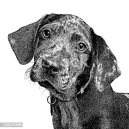 Mezzotint illustration of a Catahoula Leopard Dog Puppy in animal shelter