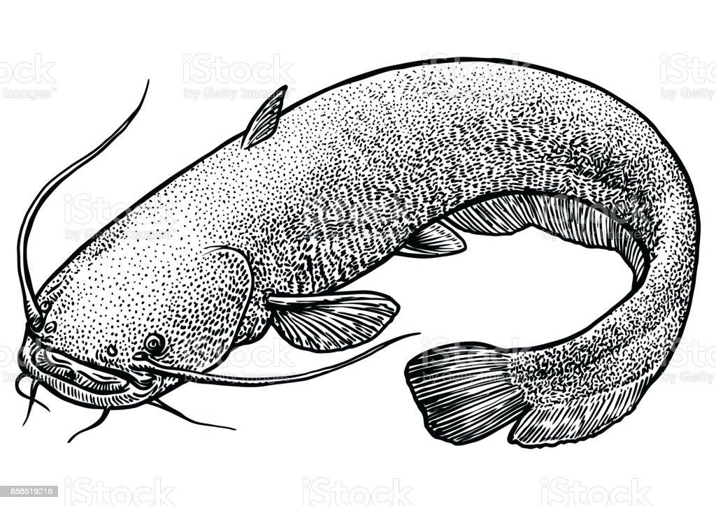 Catfish fish illustration, drawing, engraving, line art, realistic, vector vector art illustration