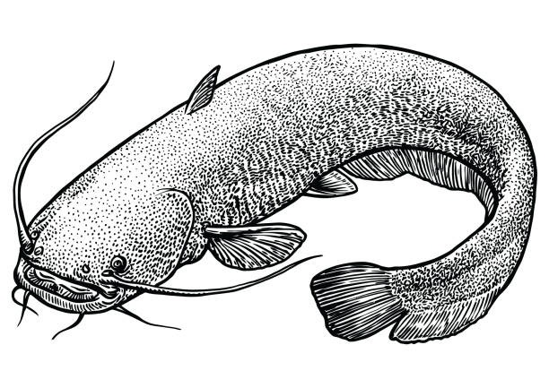 Royalty Free Catfish Clip Art Vector Images Illustrations Istock