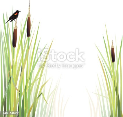 A blackbird sits atop a cattail above a marsh. On white.