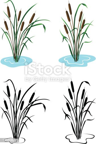 Vector illustration of cattails,In color and black & white. Includes ai8.eps & .jpeg formats