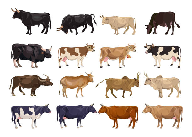 ilustrações de stock, clip art, desenhos animados e ícones de cattle breeding set - beef angus