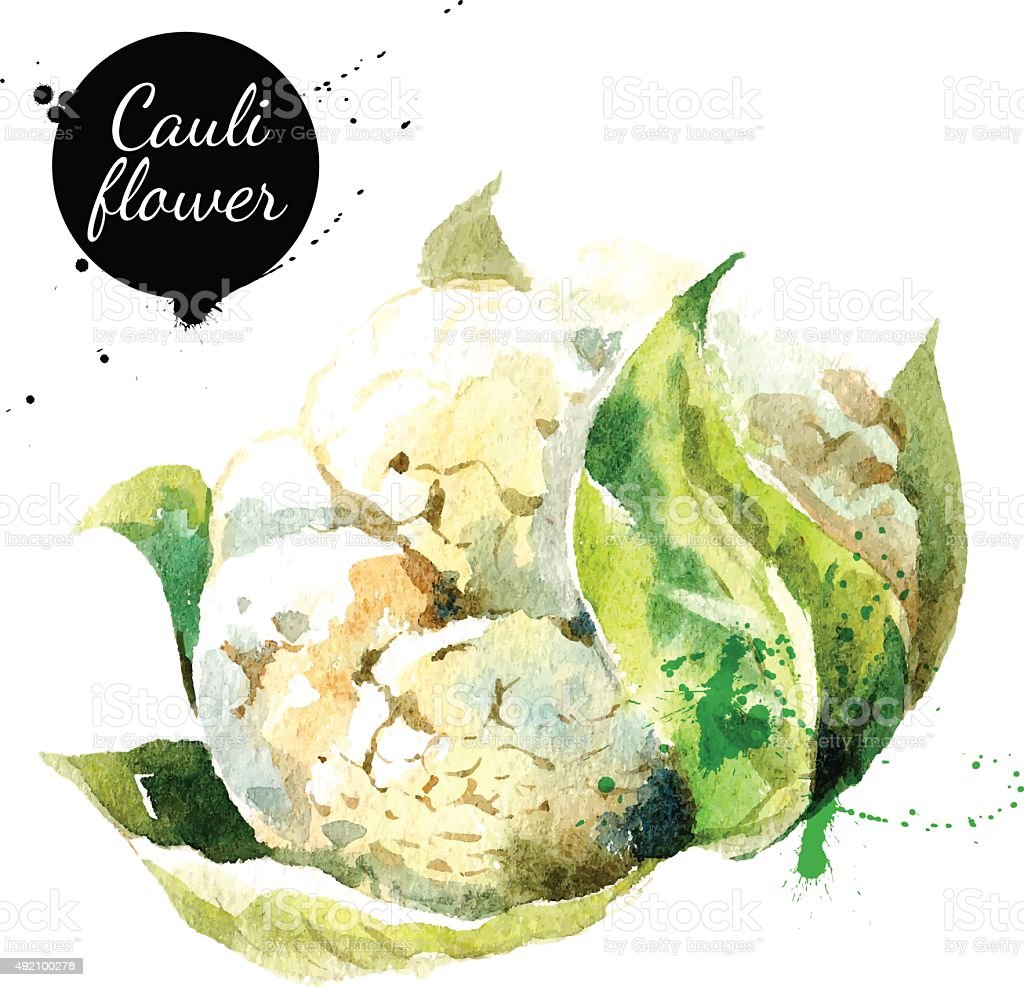 Cauliflower. Hand drawn watercolor painting on white background. vector art illustration