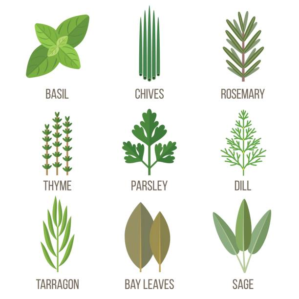 Cculinary herbs Vector set of culinary herbs illustrations. Flat style. basil stock illustrations