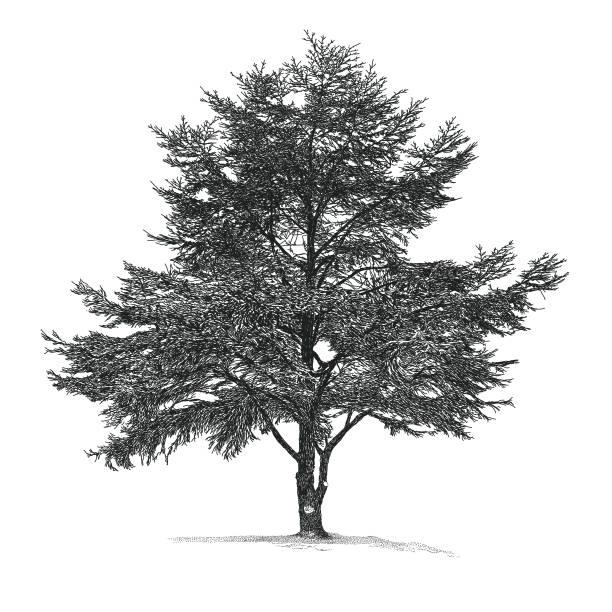 bildbanksillustrationer, clip art samt tecknat material och ikoner med cedar tree - fur