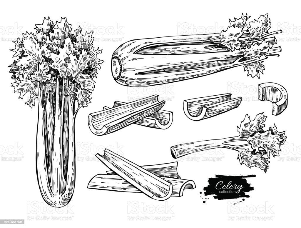 Celery hand drawn vector illustration set. Isolated Vegetable engraved style object. Detailed vegetarian food vector art illustration