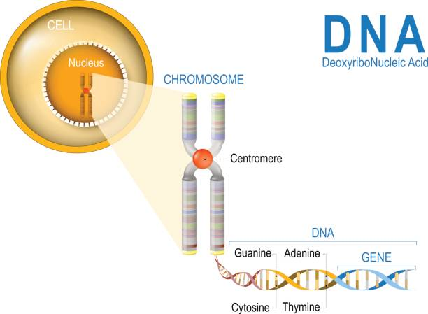 Cell, Chromosome, DNA and gene. Cell Structure. Cell, Chromosome, DNA and gene. Cell Structure. The DNA molecule is a double helix. A gene is a length of DNA that codes for a specific protein. Genome Study chromosome stock illustrations