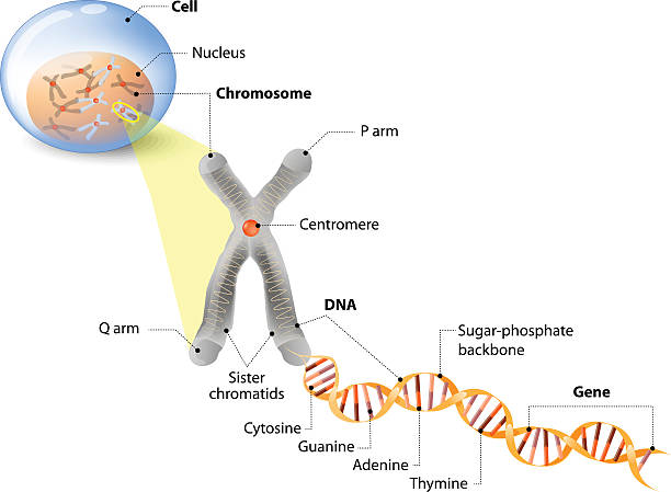 Cell, Chromosome, DNA and gene Cell, Chromosome, DNA and gene. Cell Structure. The DNA molecule is a double helix. A gene is a length of DNA that codes for a specific protein. Genome Study chromosome stock illustrations