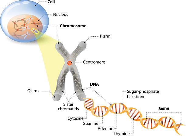 stockillustraties, clipart, cartoons en iconen met cell, chromosome, dna and gene - chromosoom