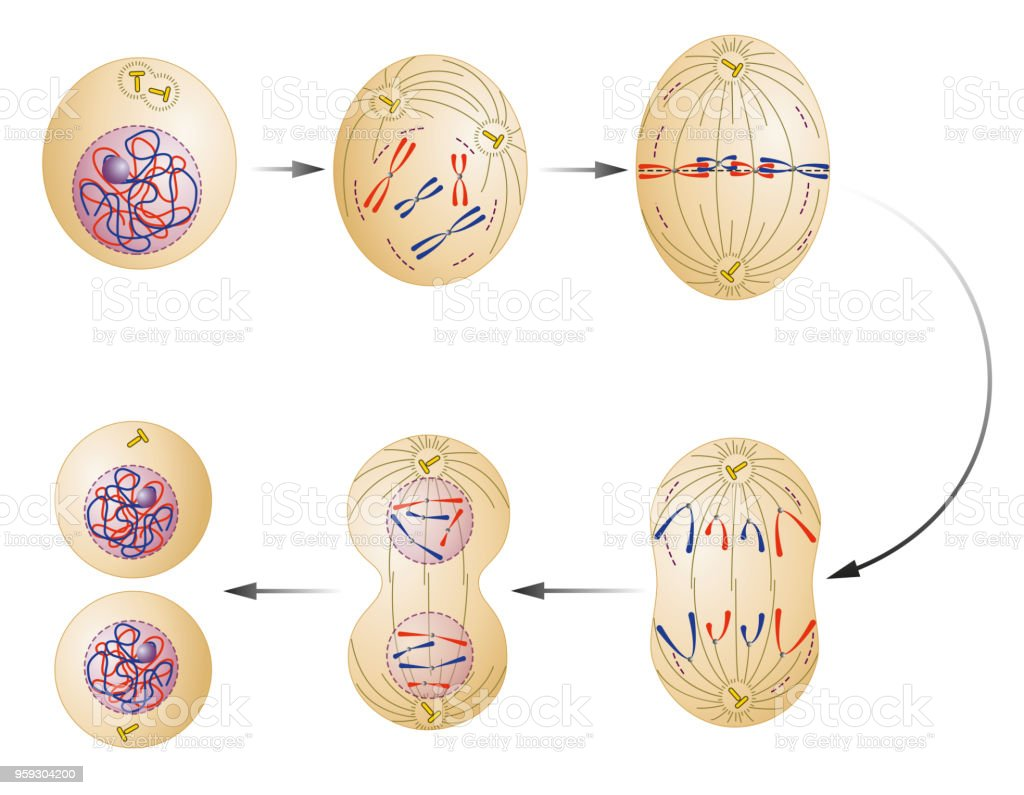 Cell division. Mitosis vector art illustration