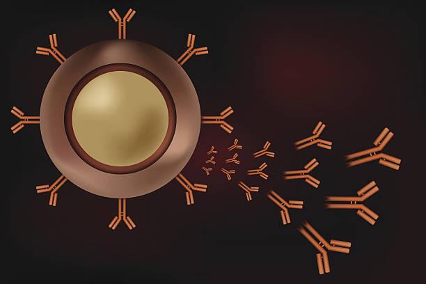 B cell lymphocyte producing antibodies vector art illustration