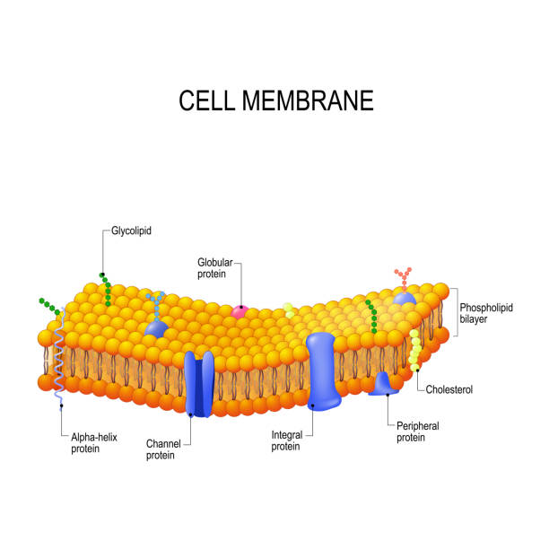 Cell membrane proteins Cell membrane proteins. Phospholipid bilayers structure of cytoplasmic membrane carbohydrate biological molecule stock illustrations