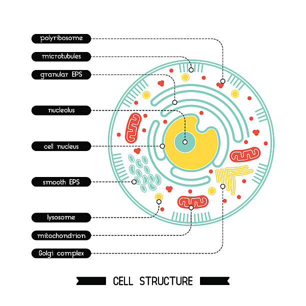 Cell structure 1 Isolated cell biology pictogram. Cell anatomy structure vector illustration. Cell structure detailed colorful anatomy with description. mitochondrion stock illustrations