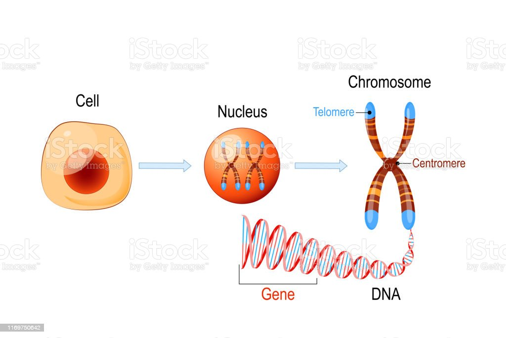 Cell Structure Nucleus With Chromosomes Dna Molecule ...