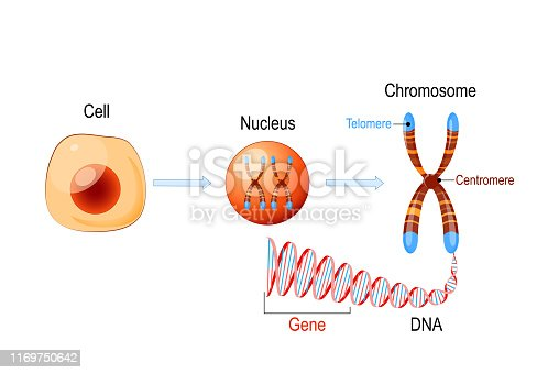 Cell Structure. Nucleus with chromosomes, DNA molecule (double helix), telomere and gene (length of DNA that codes for a specific protein). Genome research