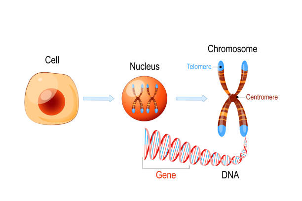 Cell Structure. Nucleus with chromosomes, DNA molecule, telomere and gene Cell Structure. Nucleus with chromosomes, DNA molecule (double helix), telomere and gene (length of DNA that codes for a specific protein). Genome research chromosome stock illustrations