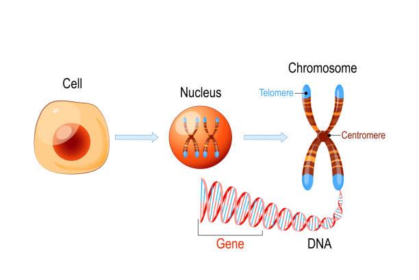 stockillustraties, clipart, cartoons en iconen met celstructuur. nucleus met chromosomen, dna-molecuul, telomeer en gen - chromosoom
