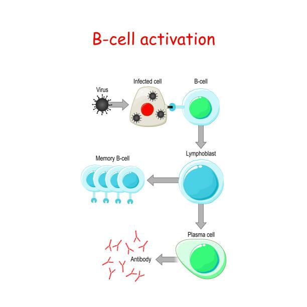 細胞 形質 B 細胞イムノフェノタイピング