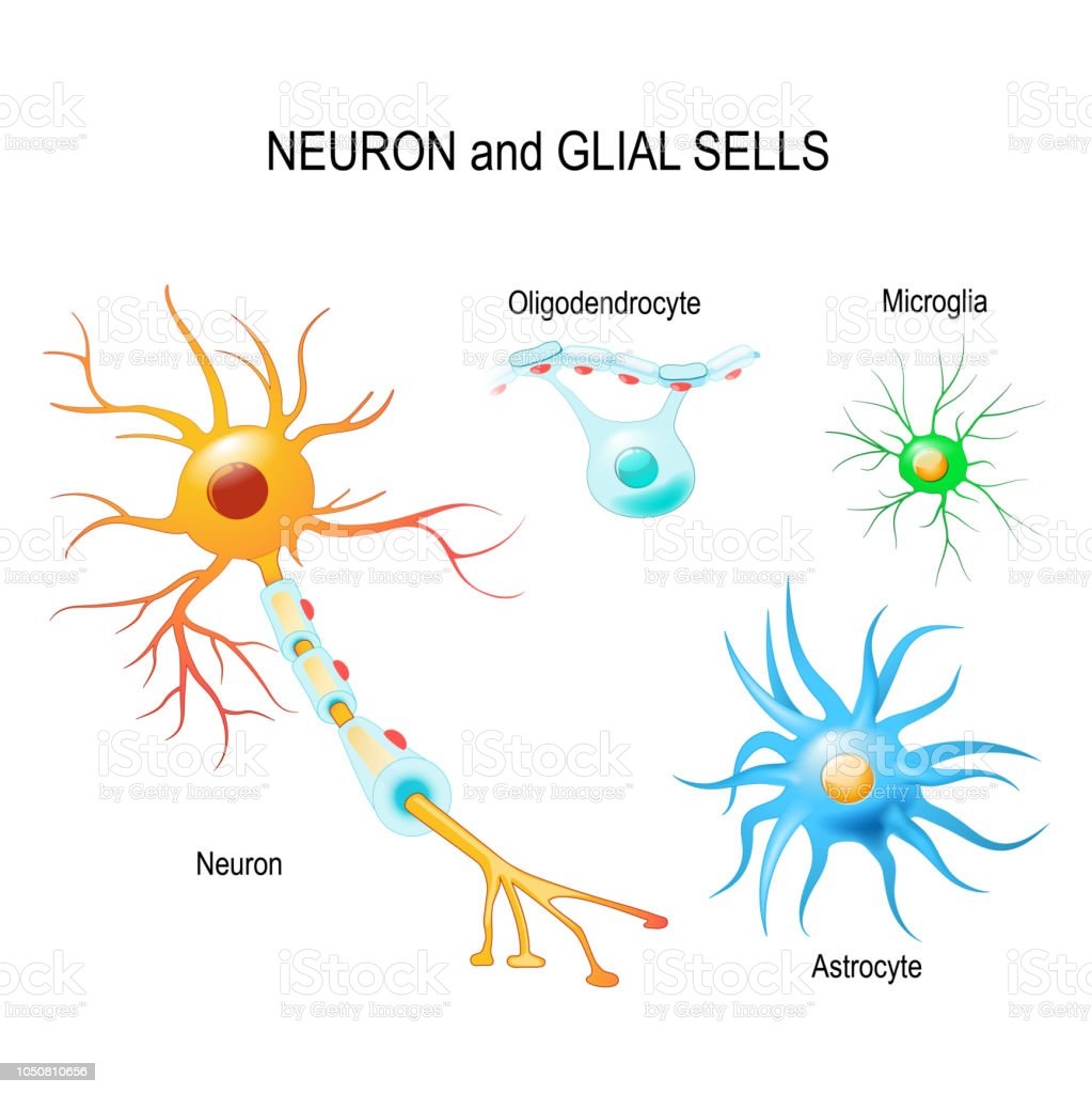 Cells of human's brain. Neuron and glial cells (Microglia, astrocyte and oligodendrocyte) Cells of human's brain. Neuron and glial cells (Microglia, astrocyte and oligodendrocyte). Vector diagram for educational, medical, biological and science use Alzheimer's Disease stock vector
